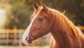 Curso online El Auxiliar de Veterinaria Ecuestre (Reconocimiento de Oficialidad por la Administración Pública – ESSSCAN)